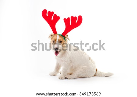 Young dog Jack Russell terrier with deer horns isolated on white