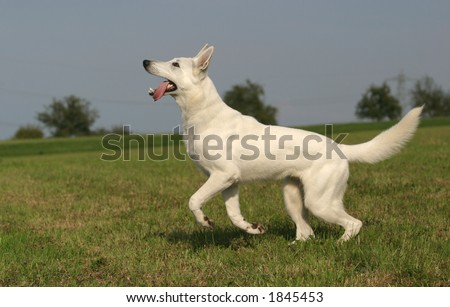 young dog jumping for his toy - stock photo