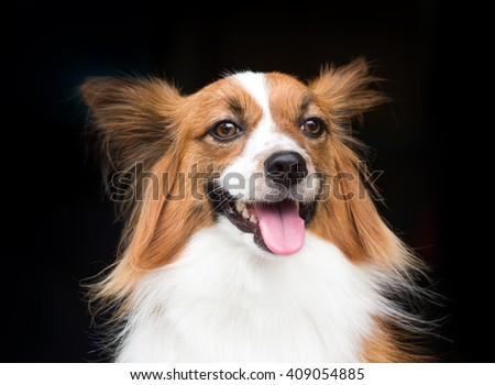 Young dog of breed Papillon standing on a black background