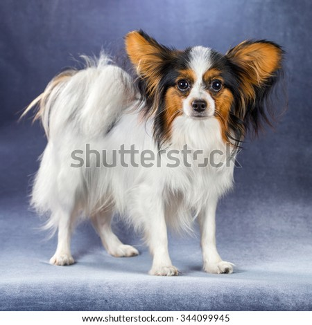 Young dog of breed papillon standing on a blue background  - stock photo