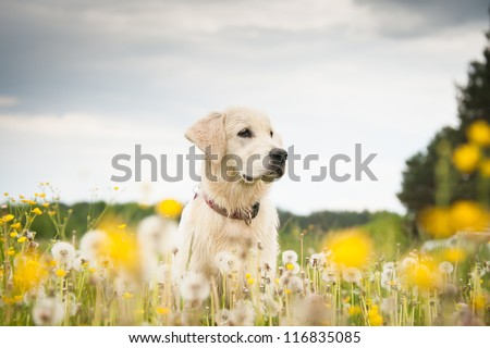 Young dog on the flower meadow - stock photo