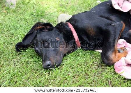 Young dog, puppy, beauceron, french shepherd plaing with blanket on grass. - stock photo