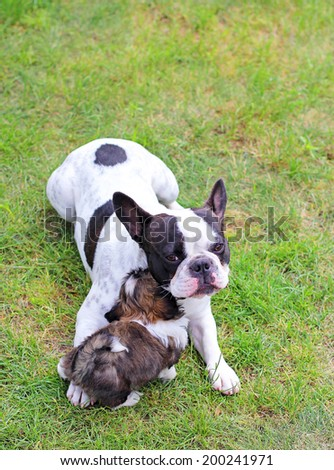 Young dog Shih Tzu and French bulgog - stock photo
