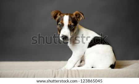 young dog who is my big dream - a black background, Jack Russell Terrier - stock photo