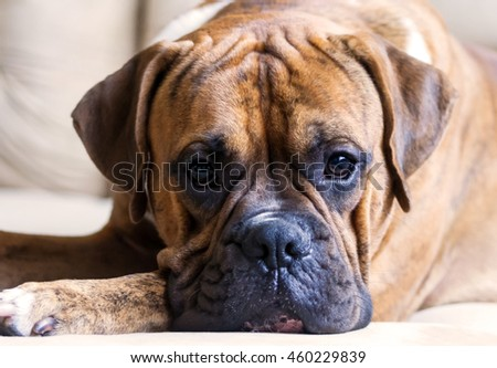 young dog with brown color stripes, breed german  boxer lying on a beige couch at their feet, a very clever and kind eyes, picture in pastel colors, dog, doggy, pawl, doggie