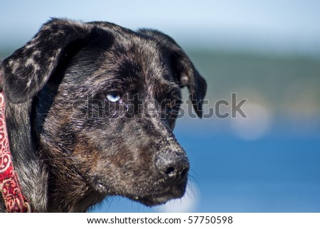 Young Dog Different Color Eyes Playing Stock Photo - 24 beautiful animals with different coloured eyes