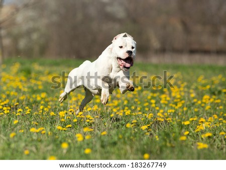 Young dogo argentino running on meadow with yellow dandelion - stock photo