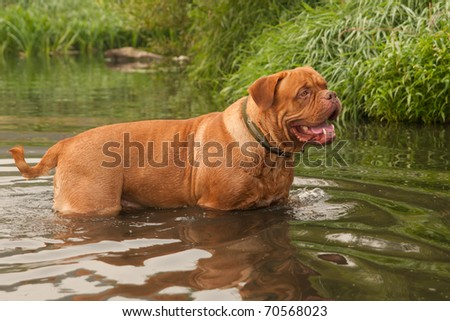 Young Dogue De Bordeaux (French Mastiff) is going to swim in forest river