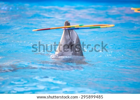 young dolphin playing in the blue water with a hoop