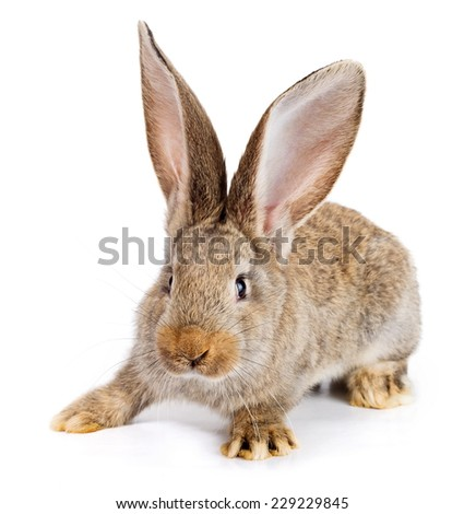Young domestic brown rabbit on white background - stock photo