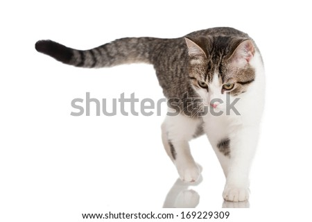 Young domestic cat isolated on white - stock photo