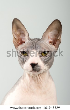 Young Don sphinx cat on an isolated background