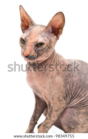 Young Don Sphinx on white background. soft focus on head - stock photo