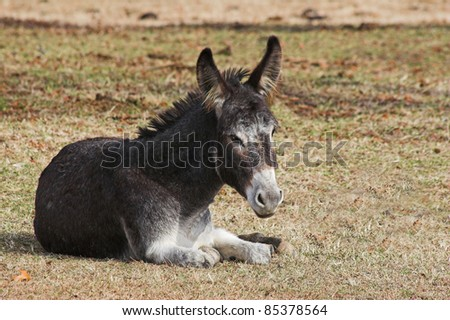 Young donkey is a family pet, resting in the cool of the day