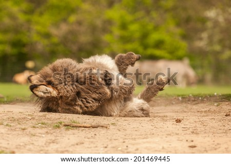 Young Donkey rolling in sand - stock photo