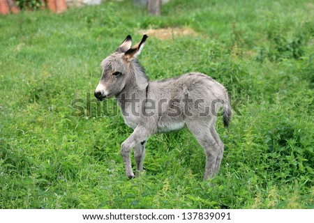 Young Donkey while grooming in the green grass background - stock photo