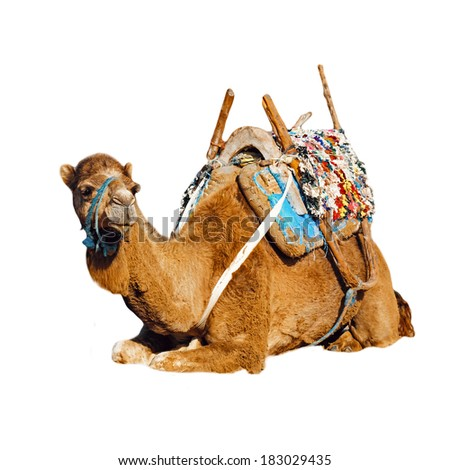 Young dromedary in the saddle lying on the ground is isolated on a white background, Morocco - stock photo