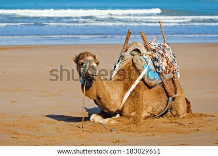 Young dromedary in the saddle lying on the sand, Morocco - stock photo
