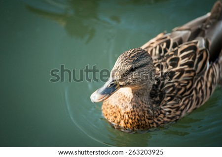 Young Duck in a Lake. Top view