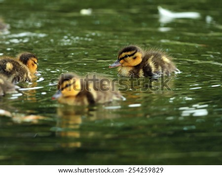young ducklings swimming on water surface ( Anas platyrhynchos ) - stock photo