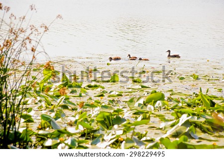 Young ducks and mother fishing in the Dnieper river in Kiev, close to Nuphar Lutea - stock photo