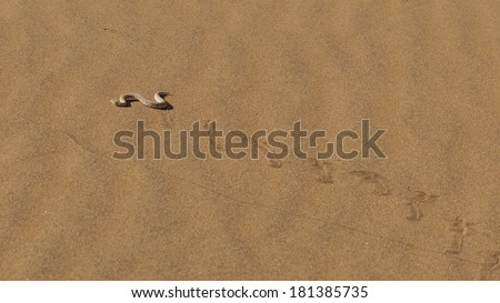Young dune adder or sidewinder snake with trail in the Namib desert, Namibia - stock photo