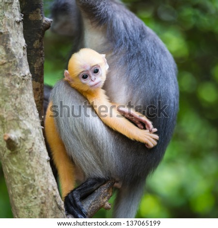 young dusky langur in hug of mother - stock photo