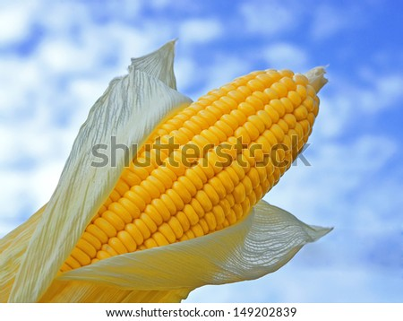 Young ears of corn against with blue sky - stock photo