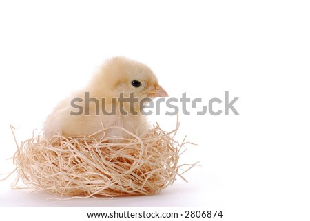 Young Easter Chick Sitting in a Straw Nest - stock photo