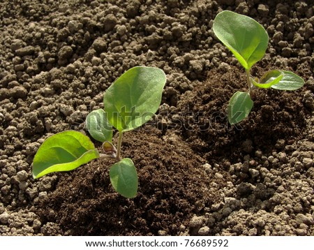 young eggplant seedlings on the vegetable bed - stock photo