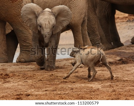 Young elaphant calf charges at an unsuspecting warthog. - stock photo