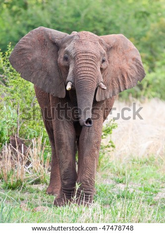 Young Elephant bull smelling the air with his trunk