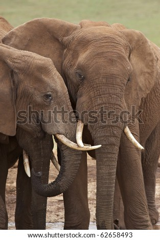 Young elephant bulls at a waterhole in Addo Elephant National Park, South Africa. - stock photo