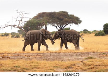 Young elephant bulls fighting - stock photo