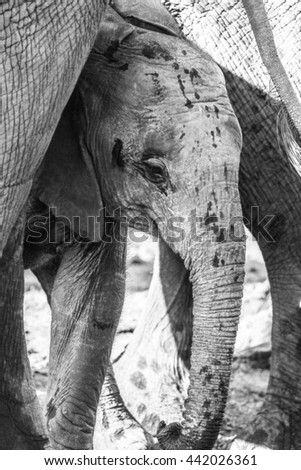Young elephant calf struggling to drink water from river, Kruger National Park - stock photo