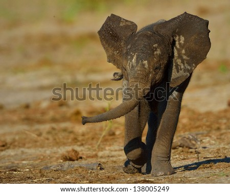 Young elephant charging - stock photo