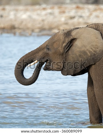Young elephant drinking at a waterhole in Etosha National Park, Namibia