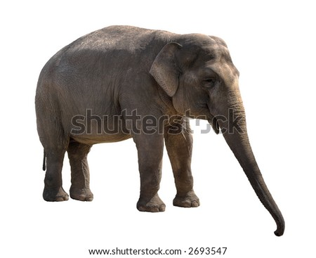 Young elephant female cutout - stock photo