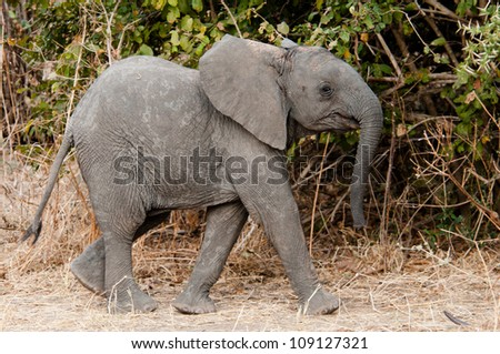 Young Elephant hurries to catch up with its mother, Ruaha National Park, Tanzania. - stock photo