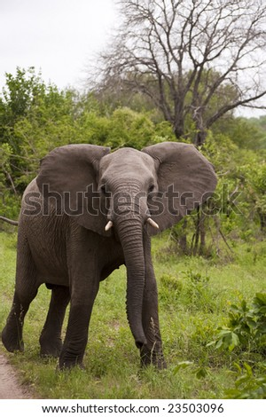 Young Elephant Mock Charging on safari in south africa. - stock photo