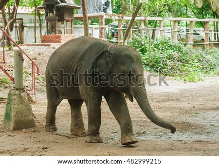 Young elephant of Thailand.
