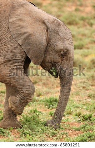 Young elephant pulling up grass to eat with it's trunk