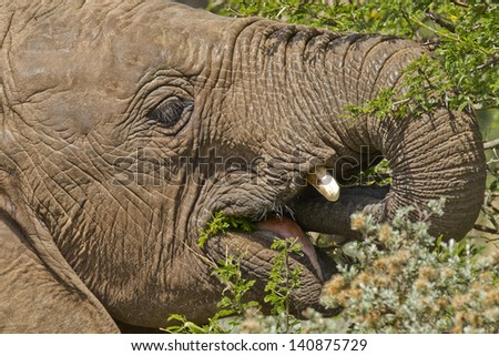 young elephant standing and eating leaves from a thorn tree