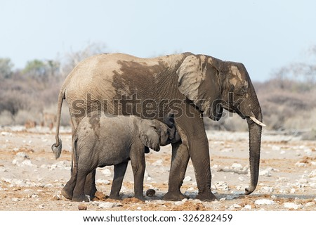 Young Elephant suckling its mother after a visit to a waterhole in Etosha National Park, Namibia