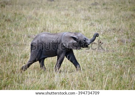 Young elephant walking in grass in Masai Mara National Park, Kenya