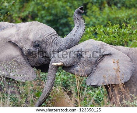 Young elephants play - stock photo
