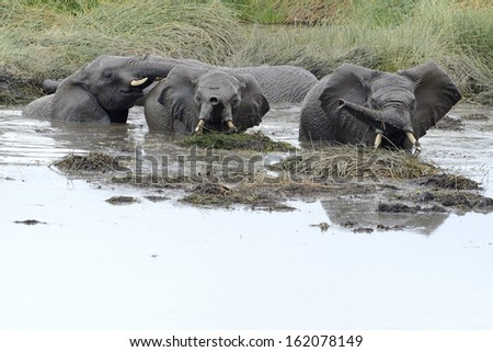 Young elephants playing in a water pool. - stock photo