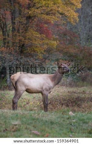 Young elk in autumn meadow - stock photo