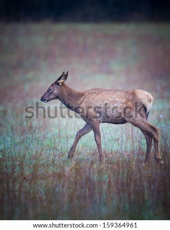 Young elk still with spots - stock photo