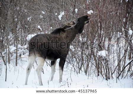 Young elk walks through a winter forest and eats small bushes and sprouts - stock photo